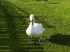 Swan at Markeaton Park.